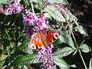 Beautiful butterflies on buddleia.