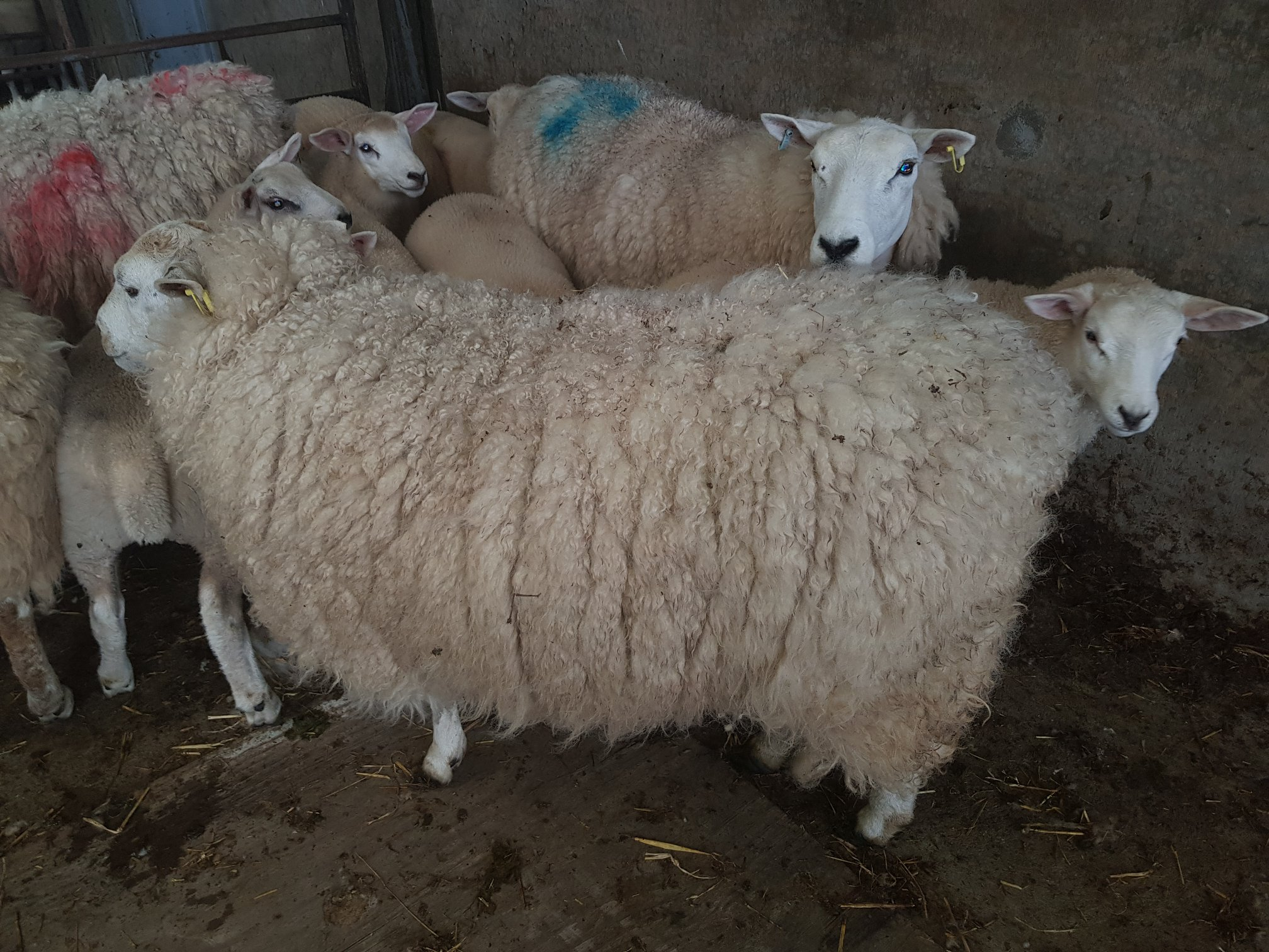 Shearing time at Perkhill. Our sheep were relieved to get thier fleeces cut last