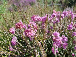 Three different heathers - the hills look so pretty swathed in this purple flowe